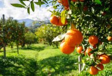 vallee orange soller majorque